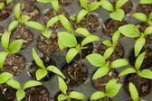 Semis de poivrons — Photo