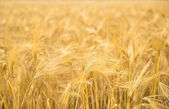 Wheat close-up. — Foto de Stock