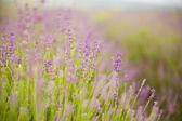 Lavendel-blumenfeld. — Stockfoto