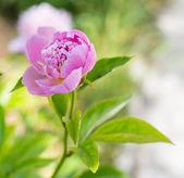 Peônia-de-rosa. — Fotografia Stock
