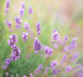 Bush of lavender. — Stock Photo