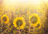 Golden sunflower. — Stock Photo