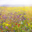 Field with grass, violet flowers and red. — Stock Photo #51251681