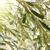 Olive tree brunch — Stock Photo