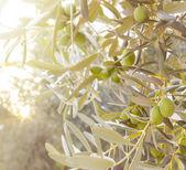 Olive tree branch. — Stock Photo