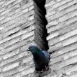 Pigeon inside the wall, watching outside world - Stock Photo
