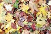 Små röda bär på hösten — Stockfoto