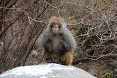 Rhesus monkey in Tibet — Stock Photo