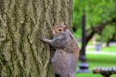 Squirrel in Boston Common — Stock Photo