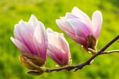 Magnolia flowers close up on a green grass background — Stock Photo