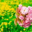 Bud Sakura flowers on blurred background of green grass and yell - Stock Photo