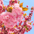 Gentle pink flowers of Japanese cherry blossom in rays of ri — Stock Photo #24624277