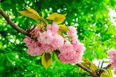 Delicate pink Sakura flowers on a green tree crown — Stock Photo
