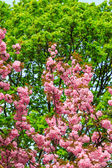Flowers on the branches of cherry blossom against a green tree c — Stock Photo