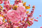 Gentle pink flowers of Japanese cherry blossom in the rays of ri — Stock Photo