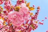 Dulce flores rosas de flor de cerezo japonés en los rayos de ri — Foto de Stock