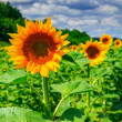 Rows of young sunflowers horizontal — Stock Photo