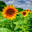 Stock Photo: Rows of young sunflowers horizontal