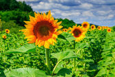 Rows of young sunflowers horizontal — Foto de Stock
