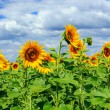 Stock Photo: Young field of sunflowers horizontal