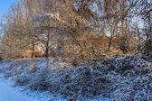 Snöig backe med buskar och träd i tidigt på morgonen — Stockfoto