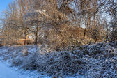 Snowy slope with bushes and trees in early morning — Stock Photo