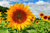 Sunflower yellow head on a background of blue sky — Stock Photo