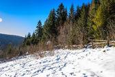 Floresta de pinheiros cobertos de neve na encosta no inverno — Foto Stock