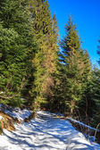Snow-covered pathway to coniferous forest on winter day — Stock Photo