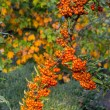 Mountain ash on autumn background — Stock Photo