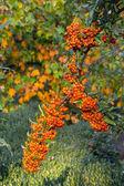 Mountain ash on autumn background — Stock Photo