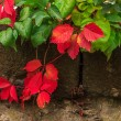 Plant with red and green leaves on stone wall — 图库照片