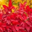 Stock Photo: Plant with red leaves on yellow foliage background