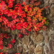 Plant with red leaves on stone wall — Stock Photo