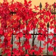 Red foliage  on a metal fence — Stock Photo