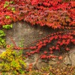 Stock Photo: Plant with red leaves on stone wall