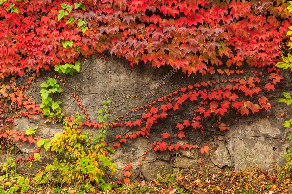 Pianta con foglie rosse sul muro di pietra — Foto Stock © pellinni #33368155