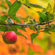 Red apple branch on a autumn leaves background — Stok fotoğraf