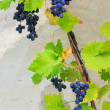 Stock Photo: Fine sweet grapes in leaves on a wall background