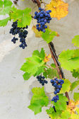 Fine sweet grapes in leaves on a wall background — Stock Photo