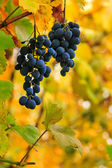 Fine sweet grapes on a foliage background — Stock Photo