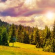 Coniferous forest on a steep mountain slope — Foto Stock