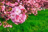 Pink flowers of sakura branches above grass — Stock Photo