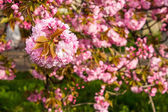 Flores cor de rosa de sakura ramos acima de grama — Fotografia Stock