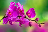 Purple orchid flower on blur background — Foto Stock