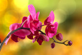 Red orchid flower on blur background — Stock Photo