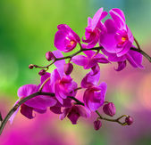 Purple orchid flower on blur background — Stock Photo