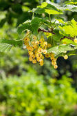 White currants on a blurred background of garden — Photo