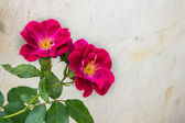 Wild rose on gray wall background — Foto de Stock