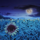 Sunflower yellow head on a blur sky background at night — Stock Photo